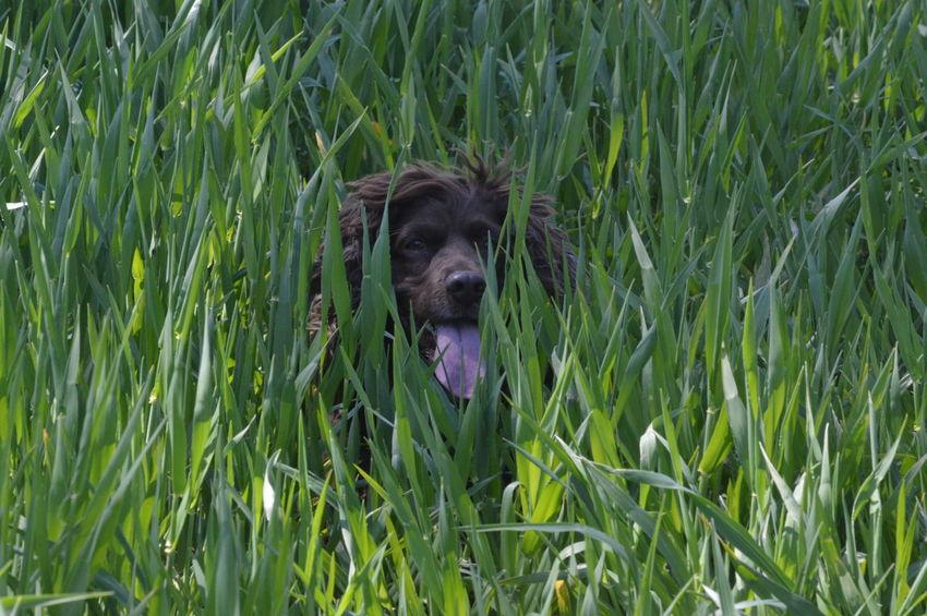 Dog Pets Grass Nature Animal Themes Outdoors Spaniel Field Spaniel Dog Portrait Dog Photography Canine Pet Portraits