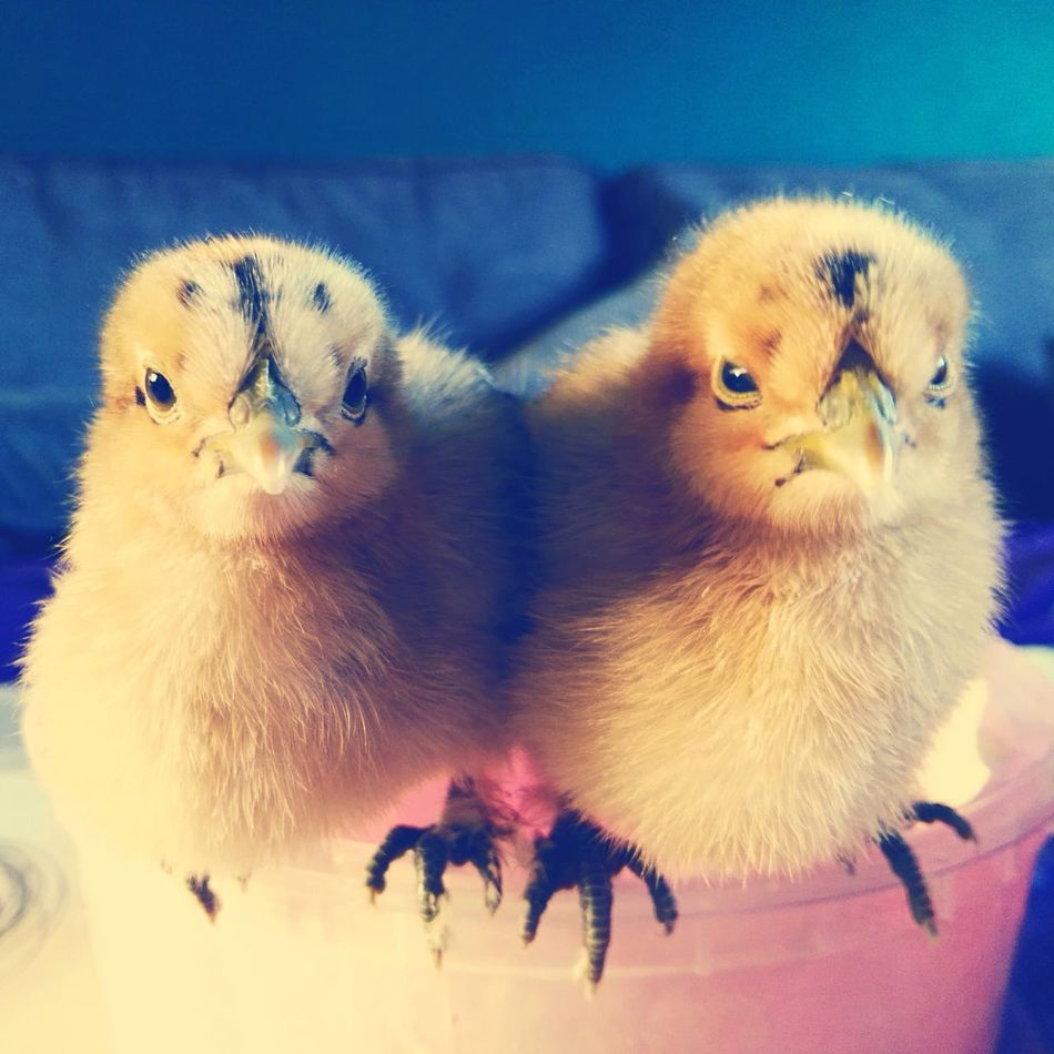 Gangsta Style Baby Chicken Young Animal Chickens >.<