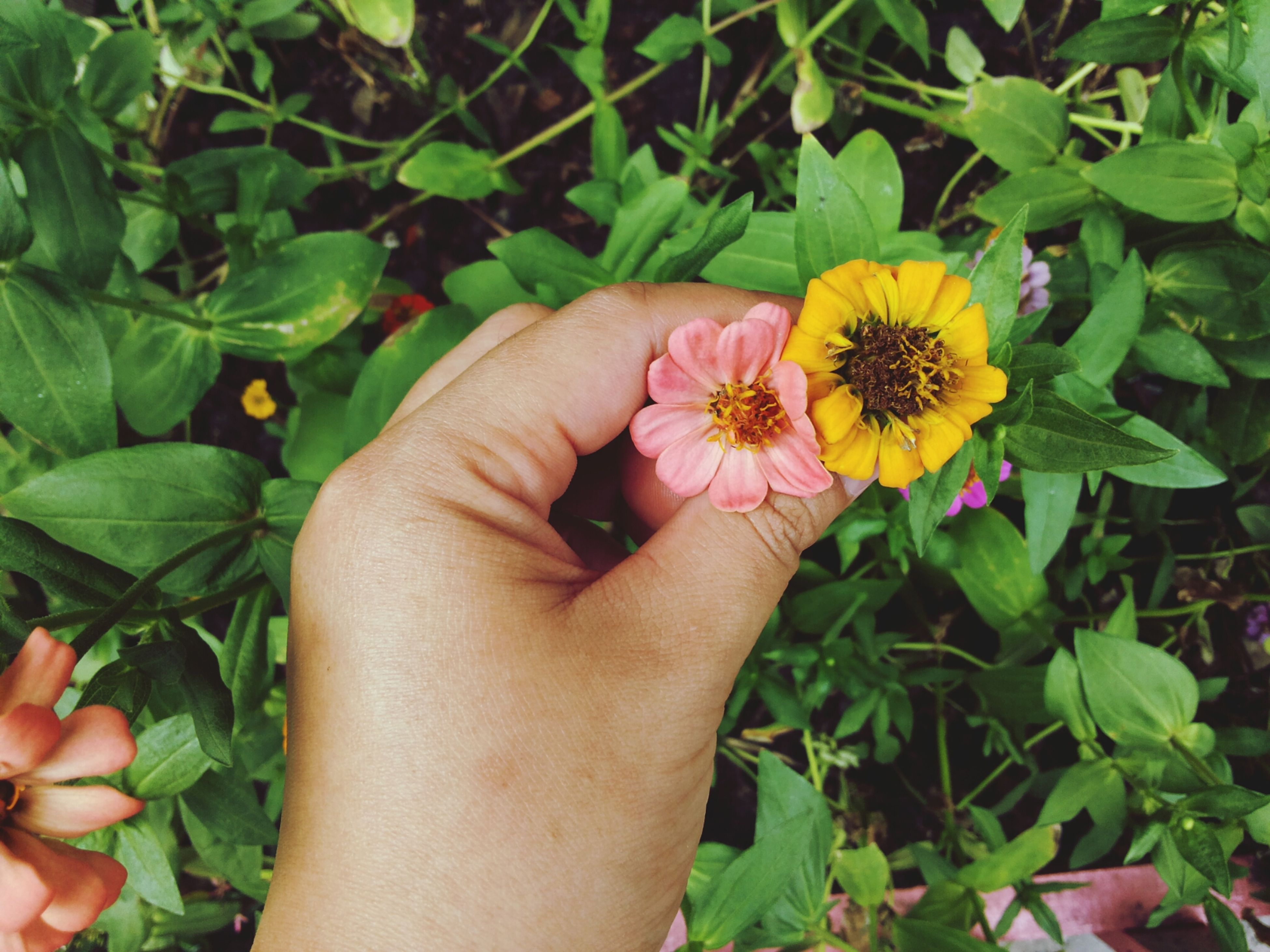 flower, person, petal, freshness, fragility, flower head, holding, plant, growth, single flower, yellow, part of, human finger, leaf, beauty in nature, nature, personal perspective