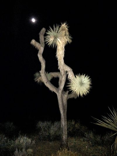 The night of the Perseid meteor shower at Joshua Tree National Park, CA, saw a few meteors. Didn't have much luck scorpion spotting either. But we did catch this Joshua tree high kicking it under the almost full moon. Night No People Illuminated Black Background Outdoors Nature Beauty In Nature Hstimko Nature Beauty In Nature Joshua Tree National Park Joshua Tree Desert Beauty Desert Midsummer Desert Southwest Beauty In The Darkness The Week On EyeEm