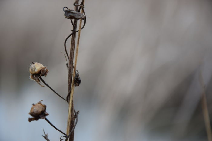 Dry Plant Plant Stem Twig Dead Plant Close-up Bokeh Background Bokeh Photography Close Up Photography Focus On Foreground Blury Background Nature_collection Nature Photography