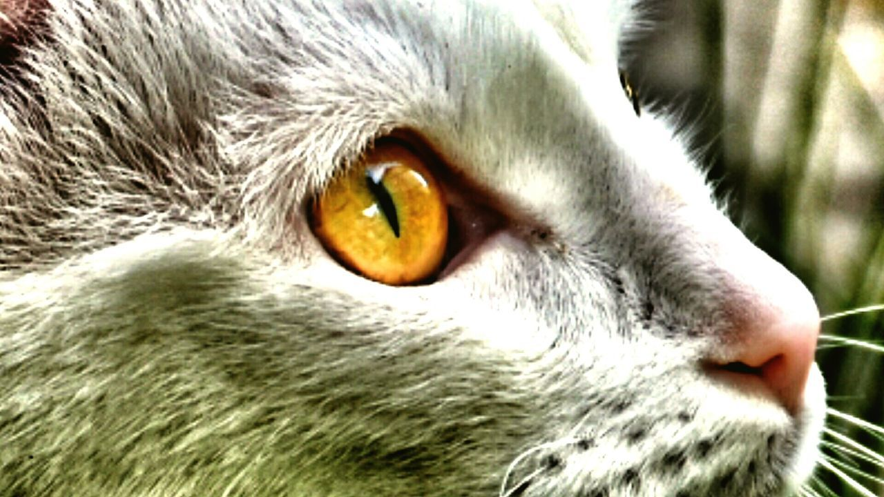 one animal, pets, domestic cat, domestic animals, animal themes, mammal, animal head, close-up, feline, animal eye, portrait, cat, whisker, looking at camera, no people, indoors, day