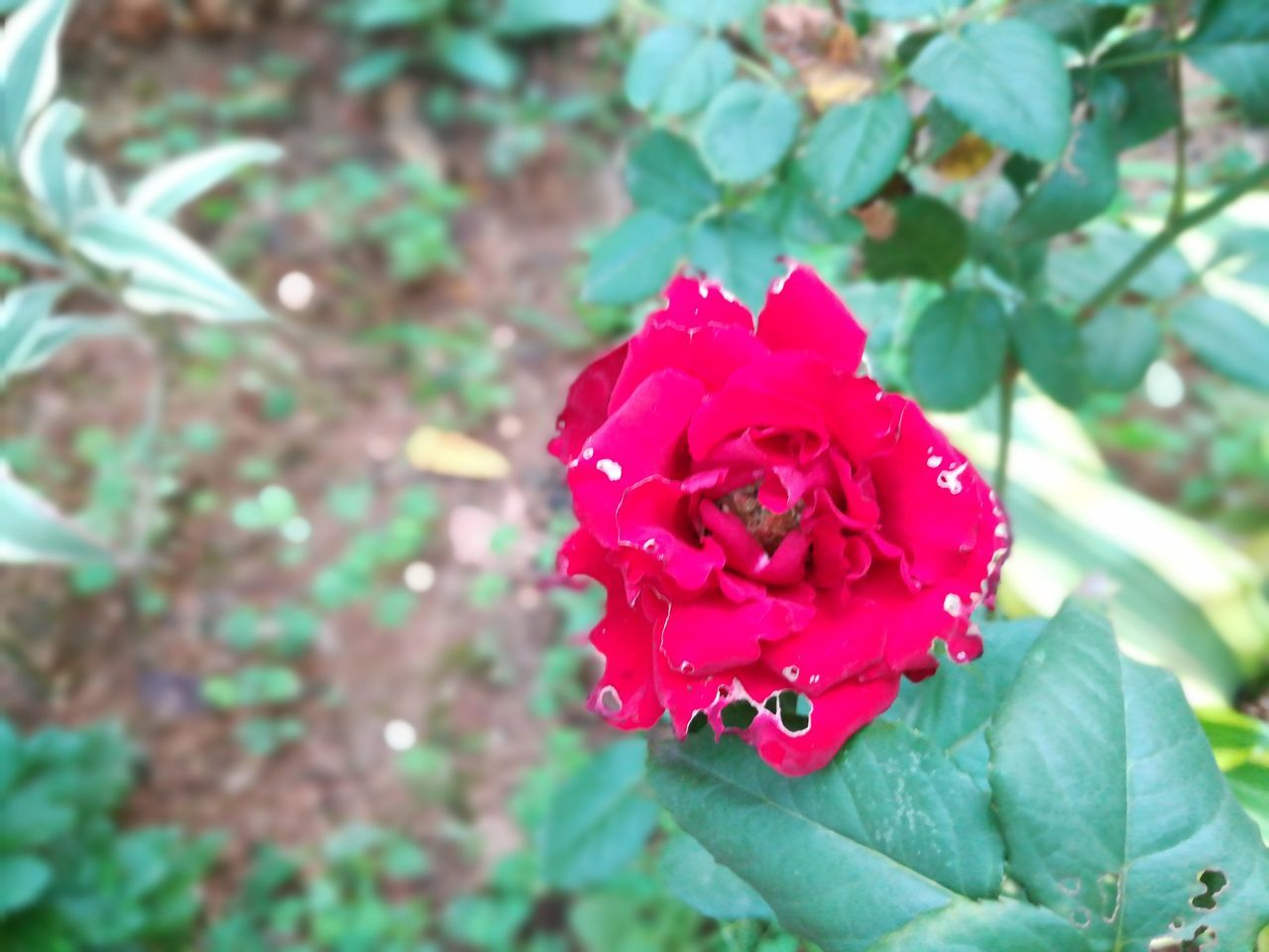 flower, petal, rose - flower, nature, fragility, beauty in nature, growth, flower head, red, leaf, pink color, no people, focus on foreground, plant, day, green color, outdoors, freshness, blooming, close-up
