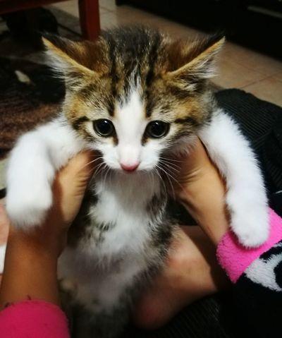 Pets Domestic Cat Kitten