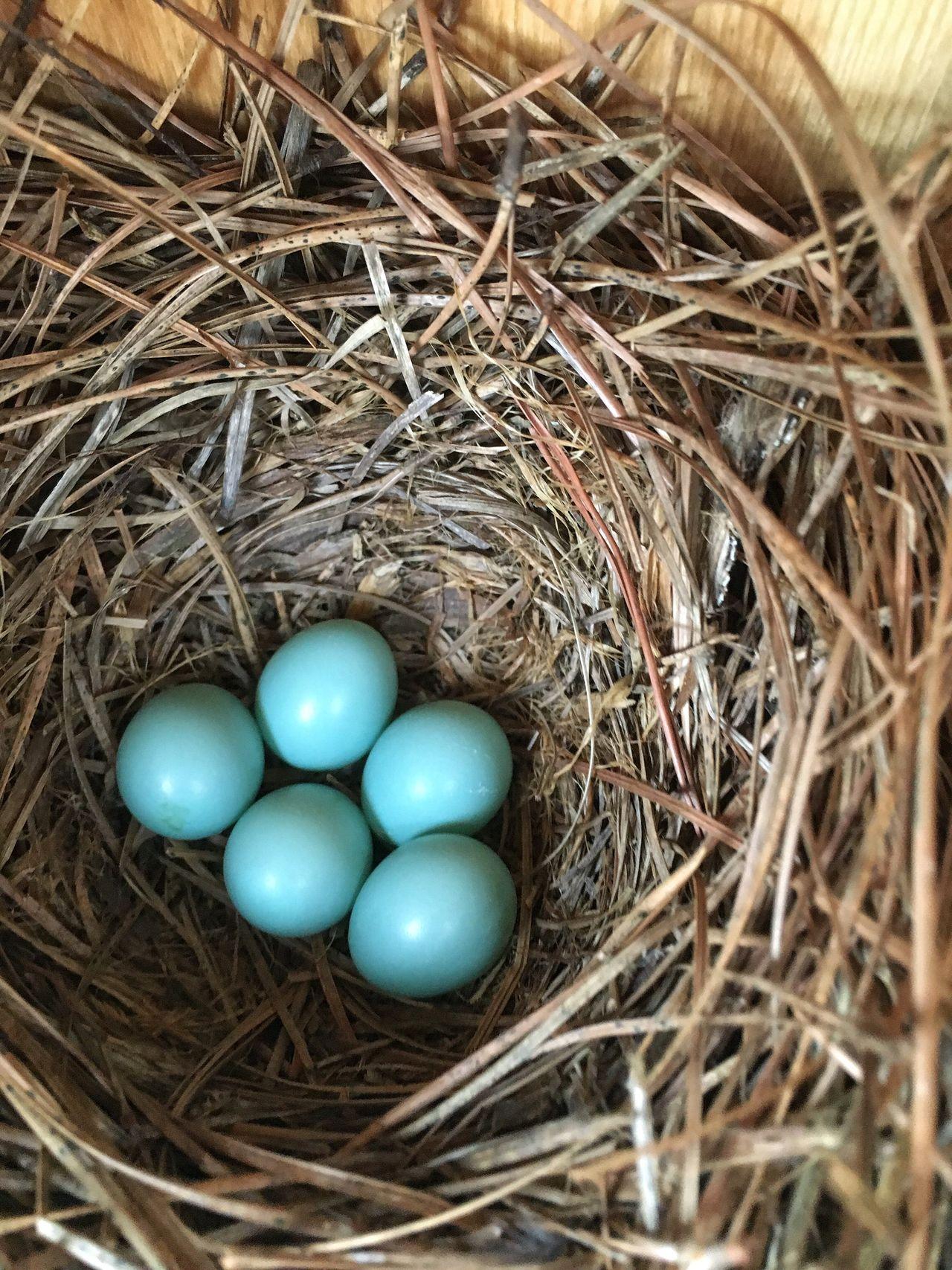 First Bluebird clutch of the season in one of our bird houses. Nests Bluebird Eggs Bird Nest