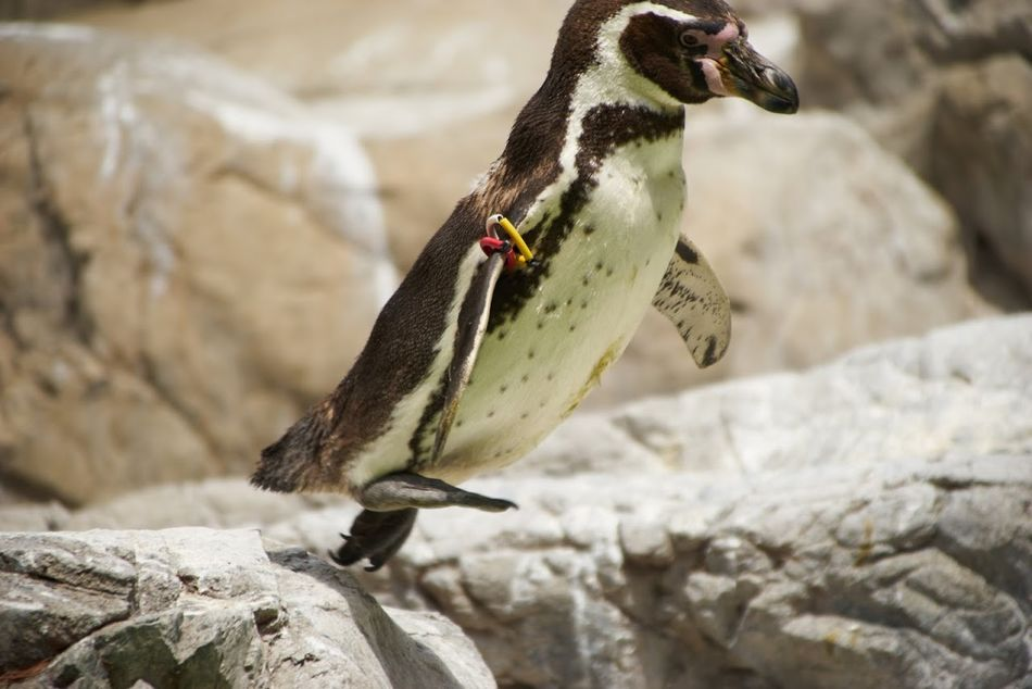 Beautiful stock photos of penguin, Animal Themes, Close-Up, Day, Nature