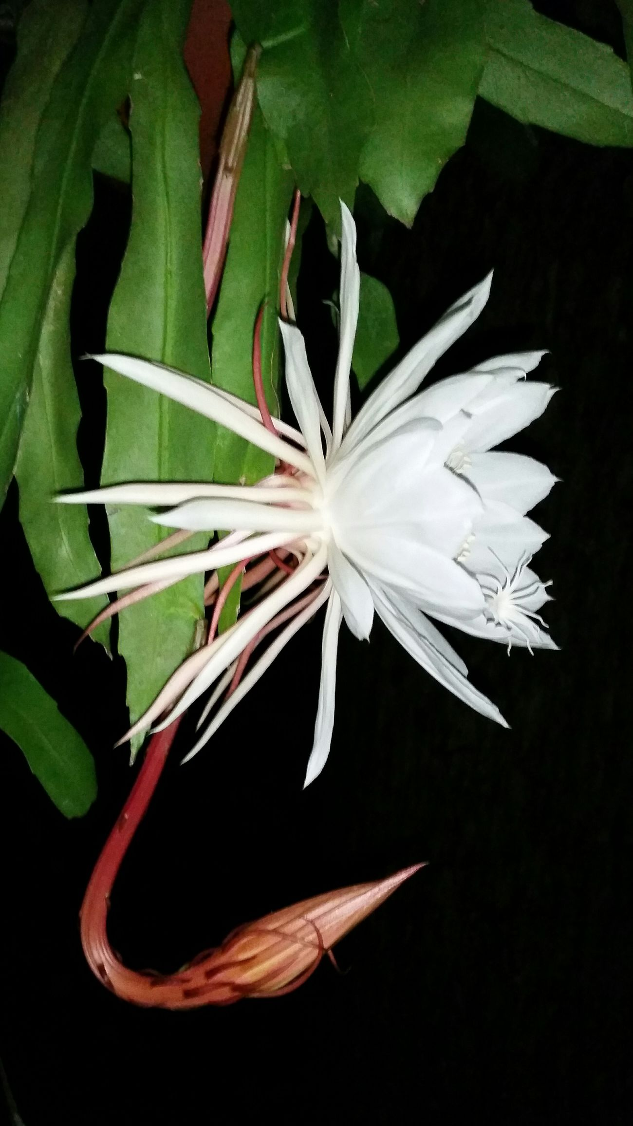 Leaf Plant Vertical Green Color Close-up No People Nature Beauty In Nature Flower Head Outdoors Day Nightblooming Cereus ... Night Photography Makesmesmile Happy Enjoying Life Fragility Beauty In Nature