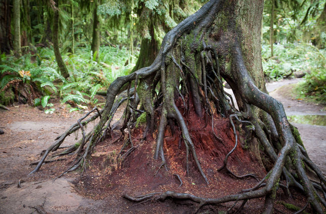 exposed roots in Cathedral Grove Port Alberni, Vancouver Island, Canada Beauty In Nature Beauty Of Decay Beauty Of Nature Canada Exposed Exposed Roots Footpath Forest Forestwalk Green Color Nature Old Growth Forest Roots Scenics Solitude Tenacity Tenacity Of Life Tourist Destination Tranquility Travel Destinations Trees Wilderness Area Woodlands Woods Woodscapes