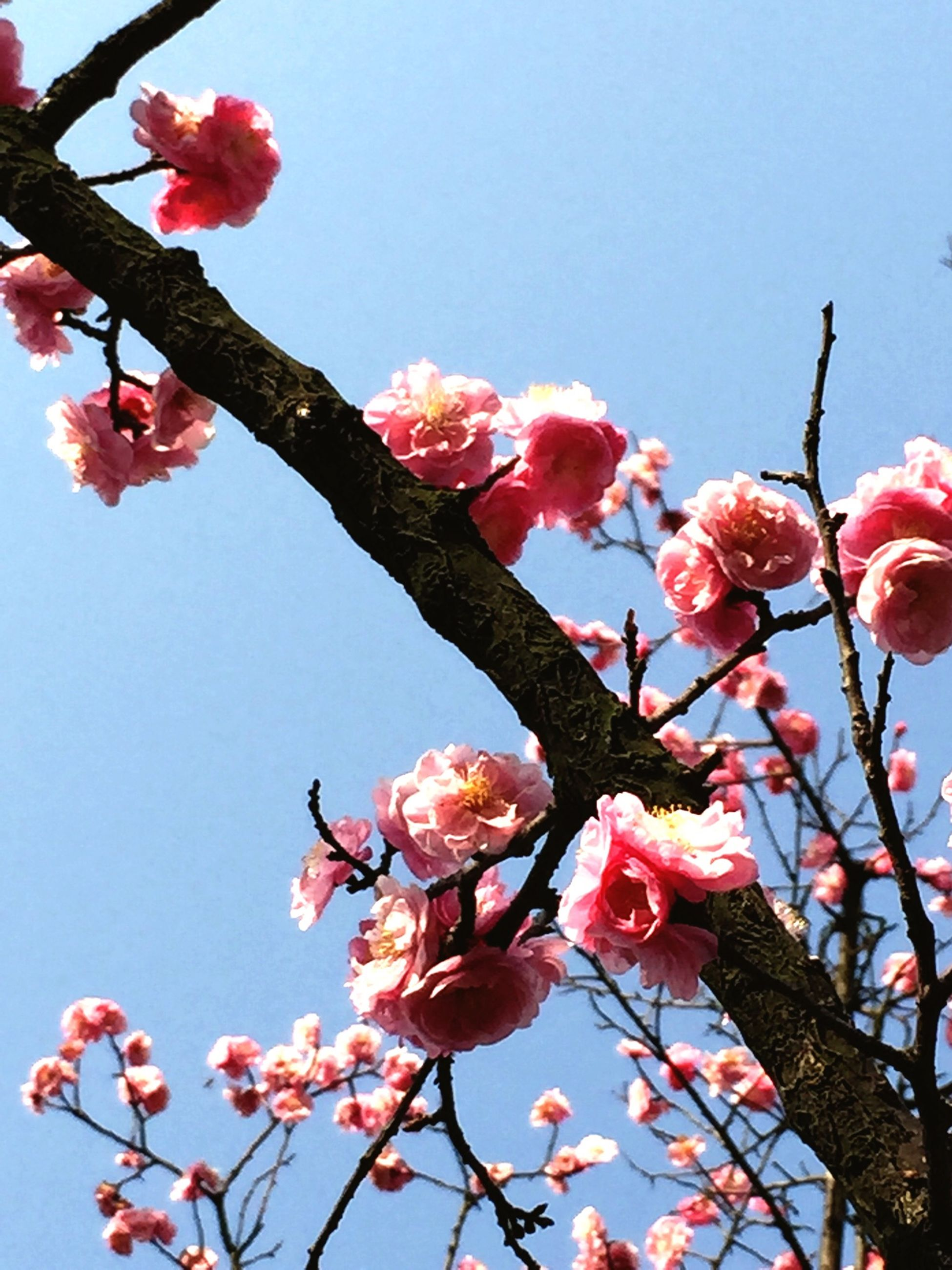 flower, freshness, low angle view, branch, clear sky, growth, fragility, tree, pink color, beauty in nature, blossom, nature, petal, cherry tree, blooming, fruit tree, in bloom, springtime, red, sky