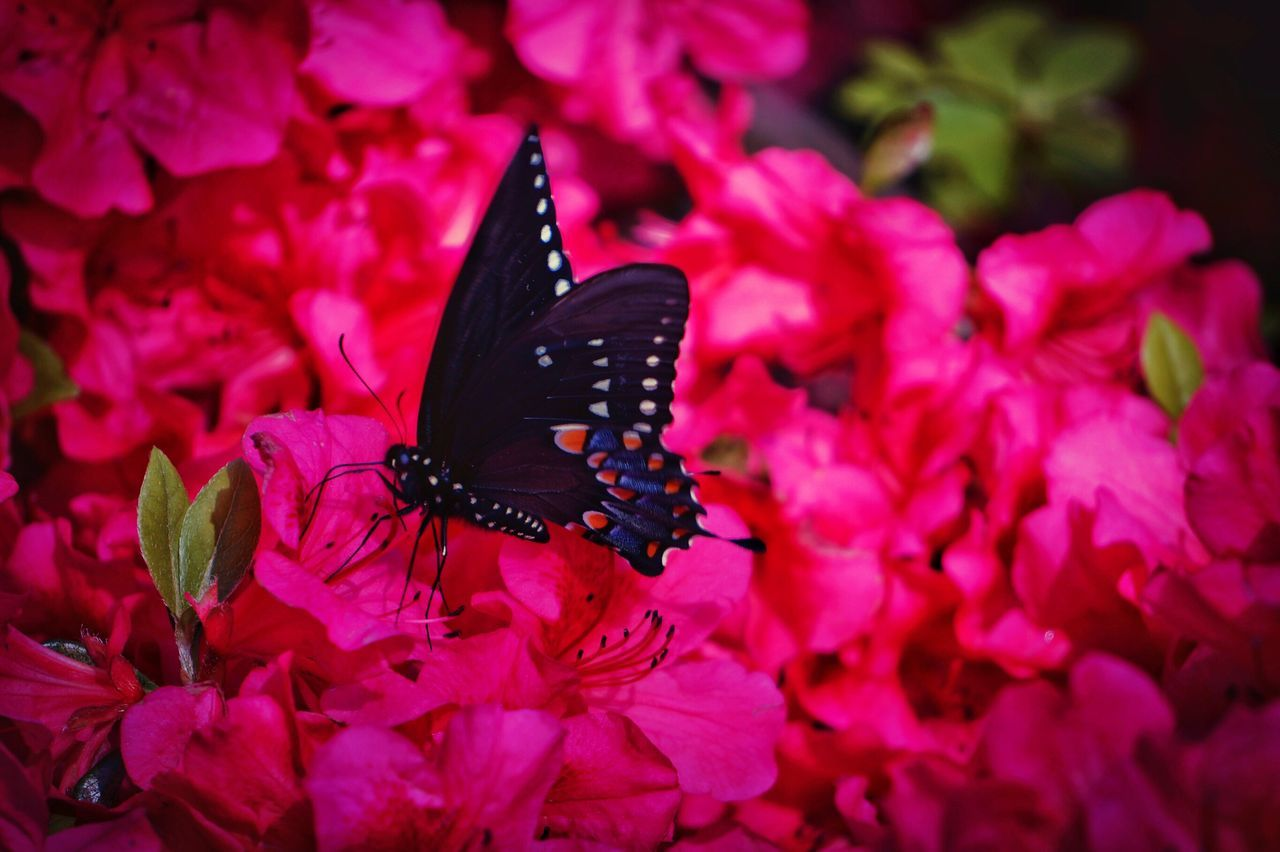 flower, petal, fragility, insect, freshness, animals in the wild, nature, beauty in nature, growth, butterfly - insect, one animal, animal themes, pink color, flower head, plant, no people, pollination, outdoors, blooming, animal wildlife, butterfly, close-up, day