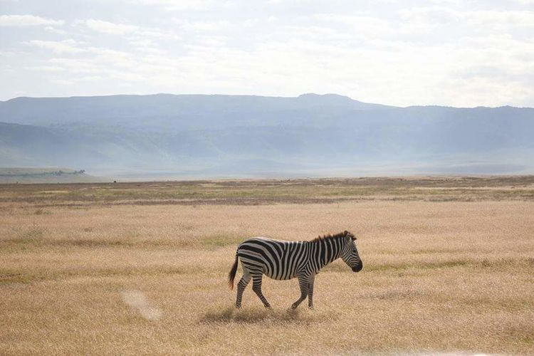 Animals In The Wild Animal Wildlife Zebra Striped Safari Animals Nature Mammal Wildlife Reserve Animal Outdoors Day Full Length Landscape No People One Animal Nature Reserve Animal Themes Horizon Beauty In Nature Sky EyeEmNewHere