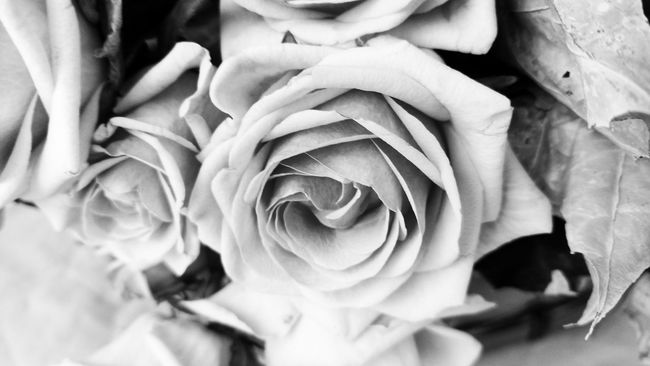 Autumn roses. Monochrome Photograhy Motorola Photography Roses Flower Petal Beauty In Nature Rose - Flower Flower Head Fragility Freshness Growth Nature Close-up Curled Up Focus On Foreground Taking Pictures Monochrome Photography Snapseed Motorola Motox Snapseed Edit EyeEm Best Shots Mobile Photography No People
