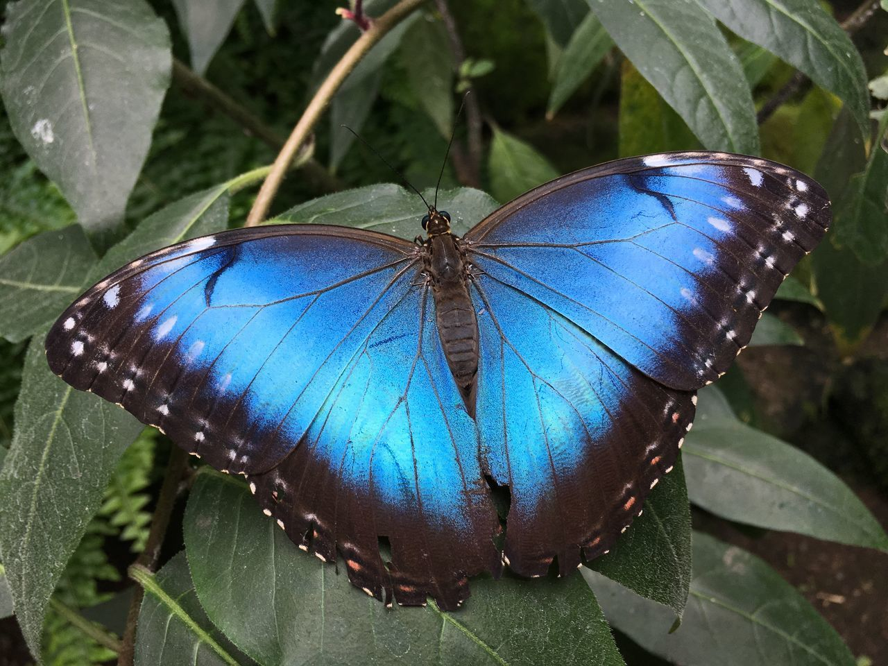 Morpho peleides Beauty In Nature Butterfly Butterfly - Insect Close-up Common Morpho Emperor Fragility Insect Leaf Morpho Peleides Morpho Peleides One Animal Peleides Blue Morpho Plant