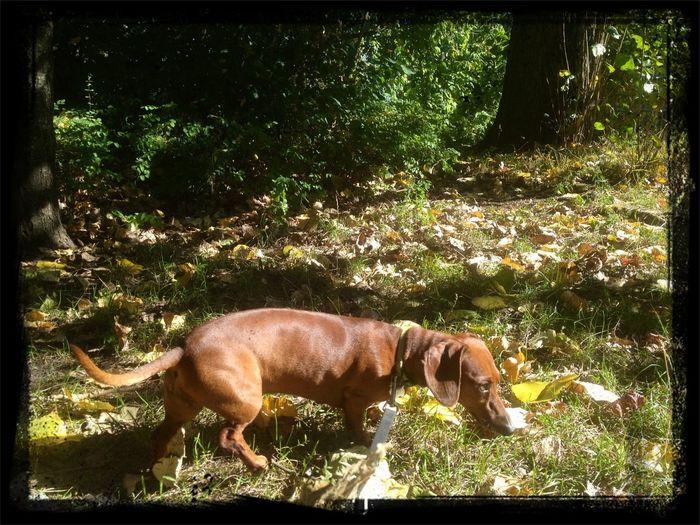 Sauce & Magoo: The Album Dog Autumn Dachshund
