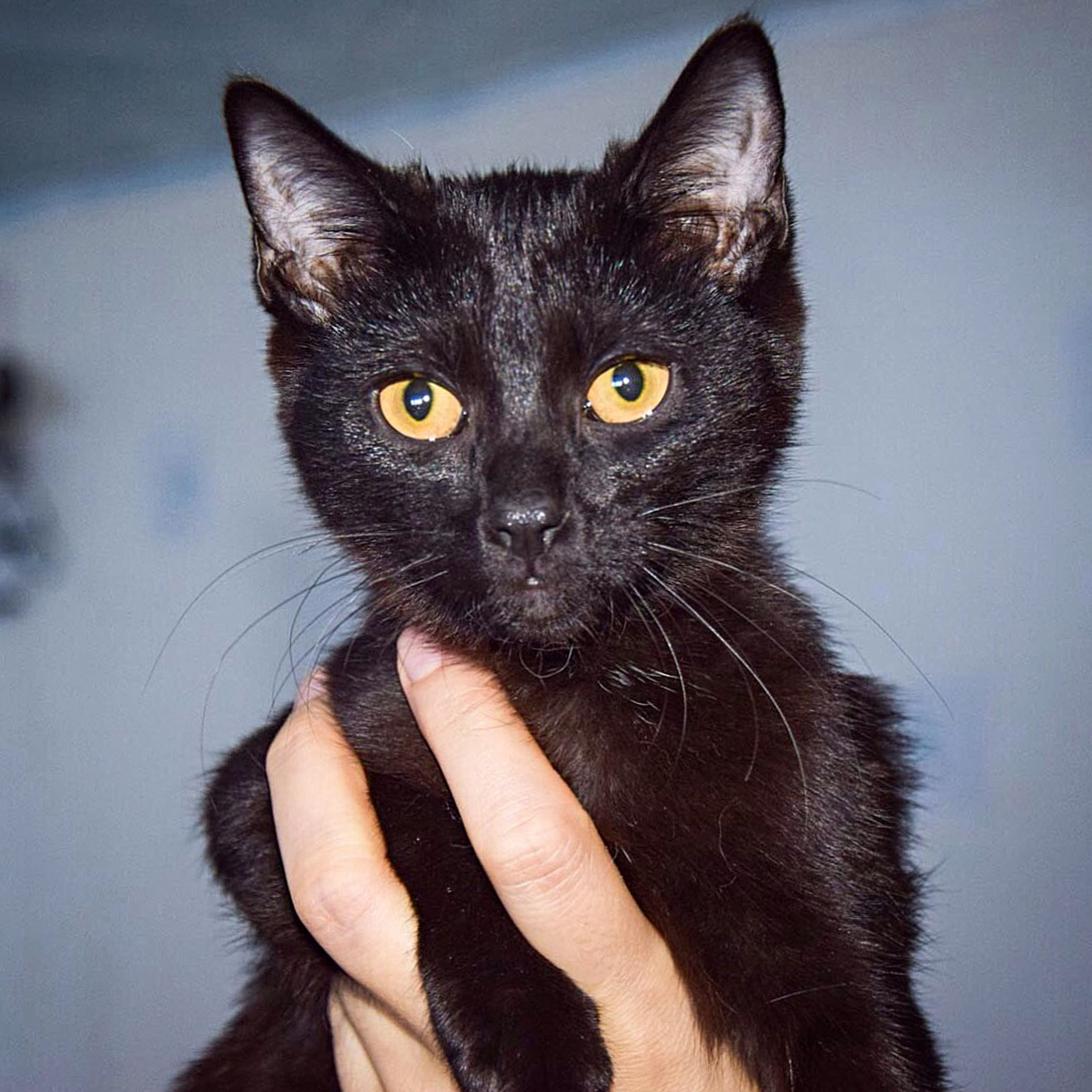 one animal, animal themes, pets, domestic animals, domestic cat, mammal, person, cat, part of, looking at camera, personal perspective, portrait, whisker, feline, close-up, unrecognizable person, black color