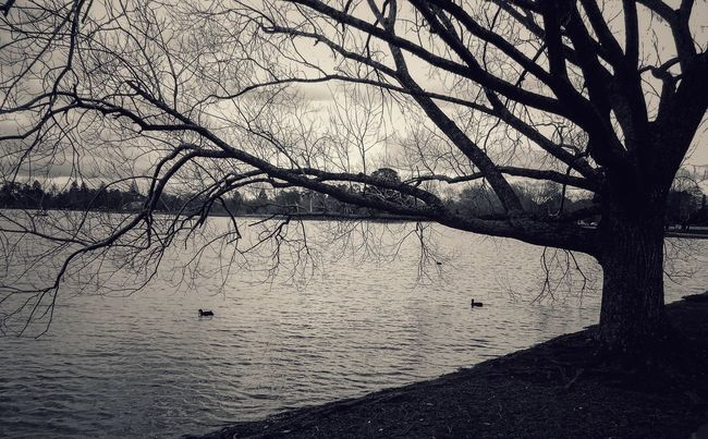 Lake side tree Black & White Trees Lakeside Tranquility Shilouette Soft Peaceful View