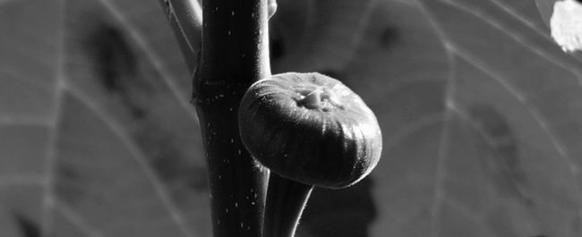 Abstract Backgrounds Beginnings Blackandwhite Macro Beauty NatureBlackandwhite Photography Close-up Creative Detail Fig Focus On Foreground Food Freshness Fruit Fruit Of Fig Full Frame Getting Inspired Monochrome New Life Shiny Simplicity Single Object Still Life