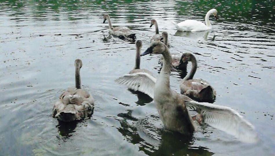 KLIMPI KLIMPERATOR Moments Moments-2015 Eyeem Awards Moment Swans ❤ Schwan  Swan EyeEm Best Shots - Nature Swans Swantastic Schwanenfamilie Schwäne Klimpi-klimperator