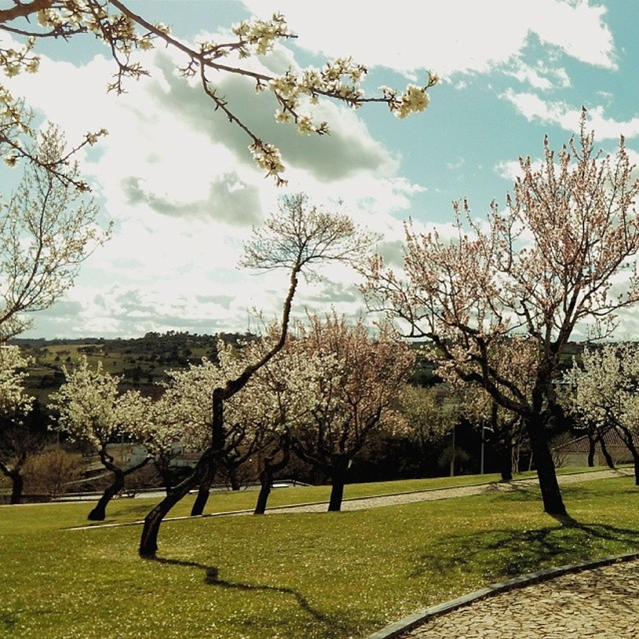 Almond trees garden #tree #trees #nature #beautiful #treesrock #forest #wood #woods #instanature #treeporn #specialbranch #branch #leafs #branches #treescollection #ilovetrees #gorgeous #beautiful #life #living #scenery #green #ic_trees Branches Ilovetrees Wood Branch Nature Treescollection Beautiful Instanature Living Treesrock Leafs Specialbranch Green Trees Ic_trees Scenery Life Tree Gorgeous Woods Forest TreePorn