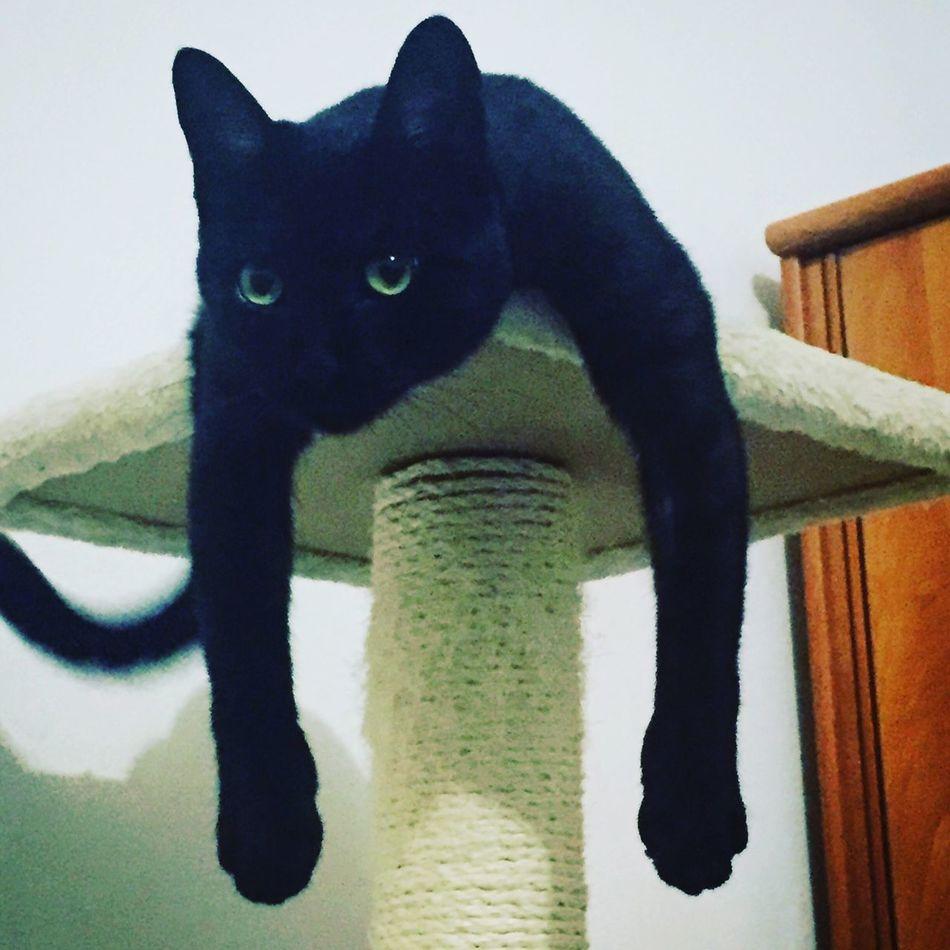 Cat One Animal Domestic Cat BLackCat Green Eyes Loveit Gatto Gattina Posizione Strana Nero Occhiverdi Occhi