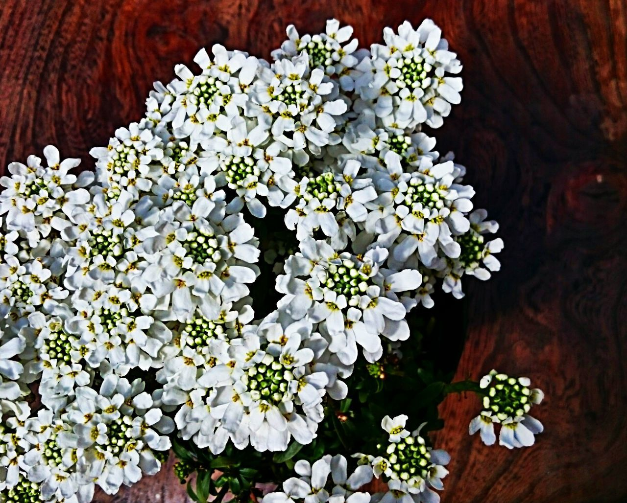 Flower Collection White Flowers Beauty In Nature Blossoms  Simple Beauty Garden Flowers Cluster Of Flowers