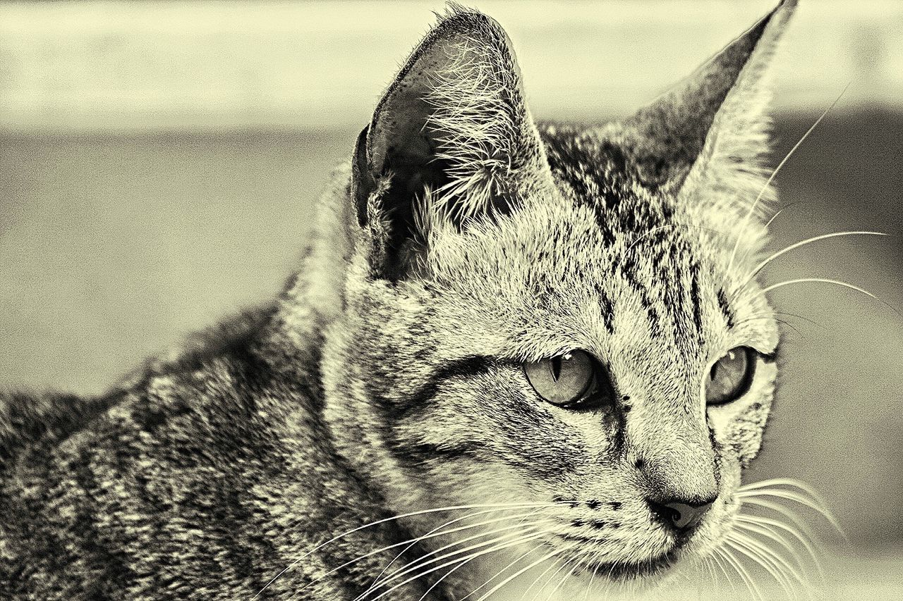 domestic cat, animal themes, domestic animals, one animal, pets, mammal, feline, whisker, cat, portrait, close-up, focus on foreground, looking at camera, no people, day, outdoors