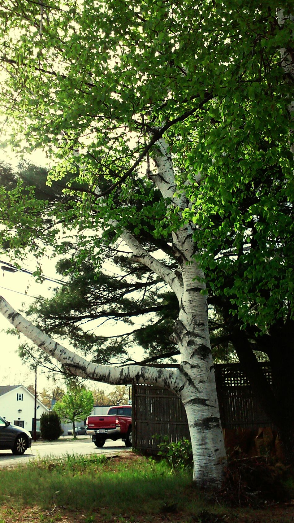 Tree Birch tree Beautiful ♥ treehugger Nature_collection eyeem nature lover Natural Beauty