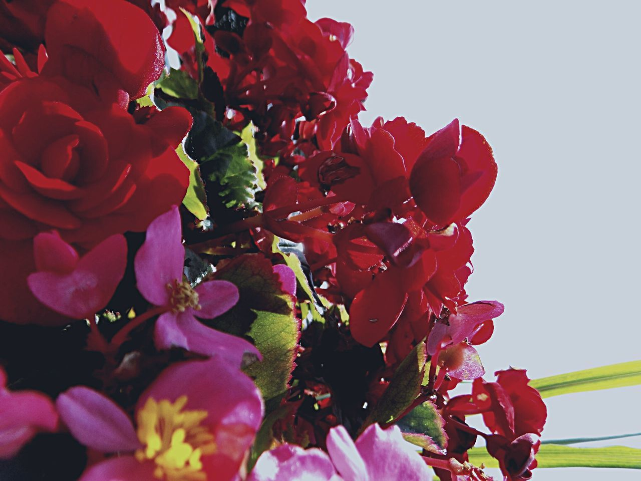 flower, petal, beauty in nature, growth, fragility, nature, freshness, no people, red, flower head, plant, outdoors, day, close-up, springtime, sky