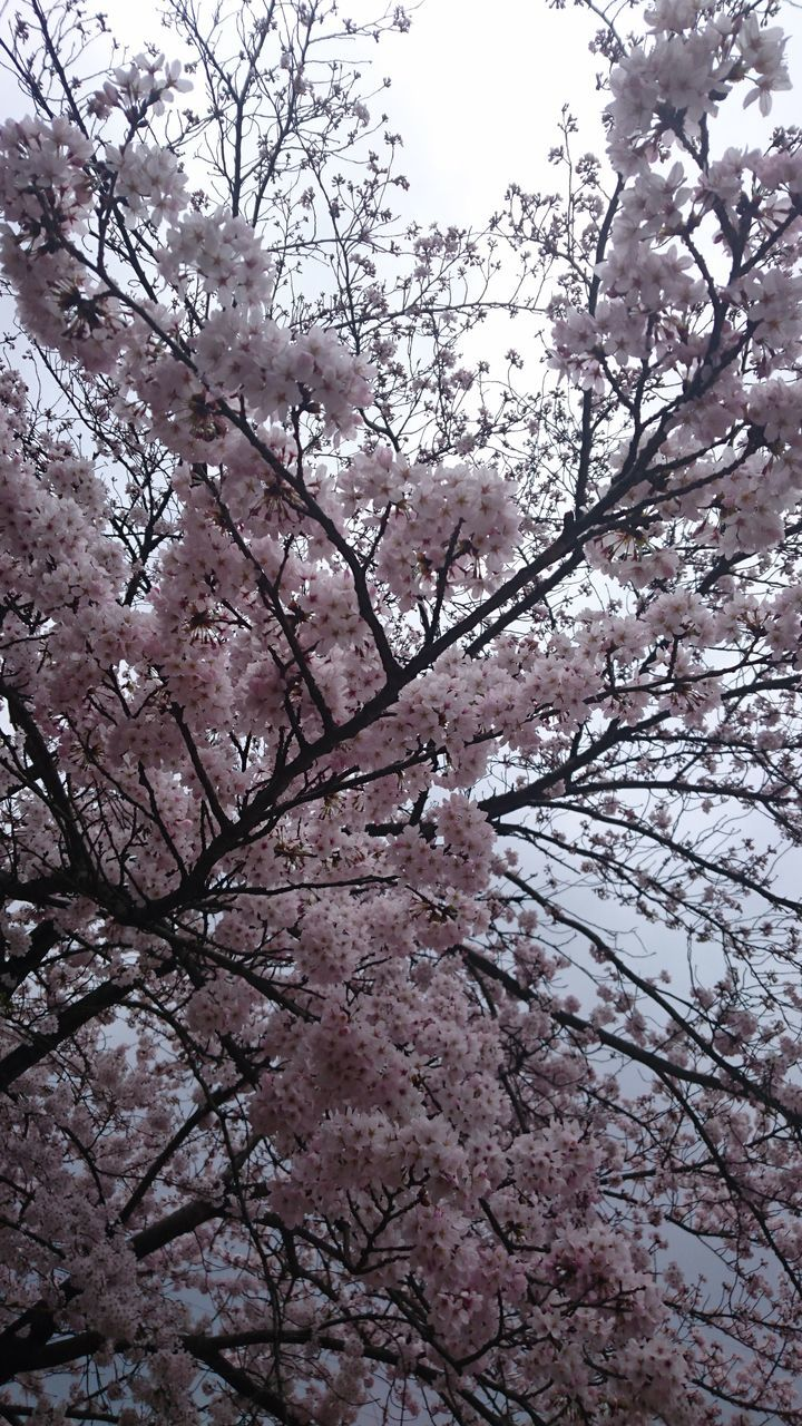 tree, flower, branch, beauty in nature, low angle view, blossom, springtime, nature, fragility, freshness, no people, pink color, growth, day, outdoors, sky, backgrounds, scenics, close-up