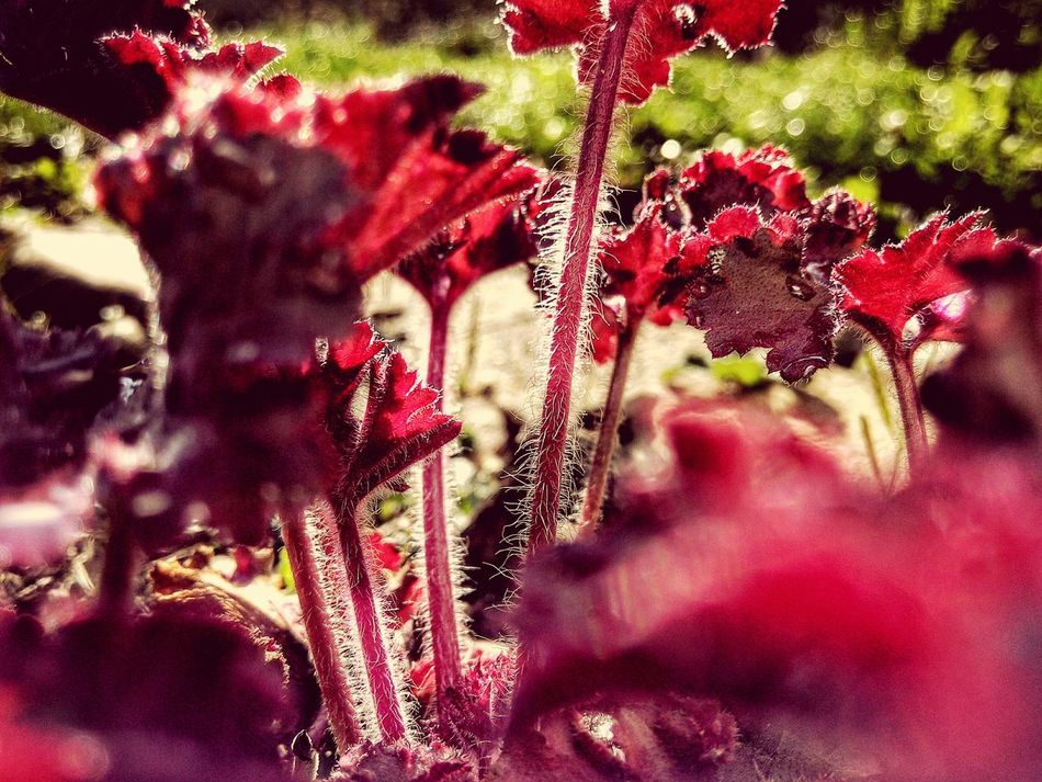 Perennial Leaves Growing Macro Red Leaves Spring Springtime Dew Drops Dew Bokeh Garden Garden Photography Morning Sun Heurecha Hairy Leaves Showcase April