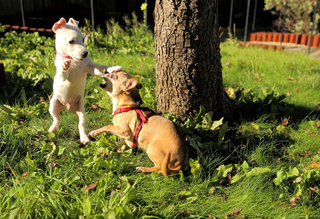 Animal Themes Chihuahua Friends Fun Garden Jack Russel Terrier Jump Pets Playing Playmates Puppy Two Animals
