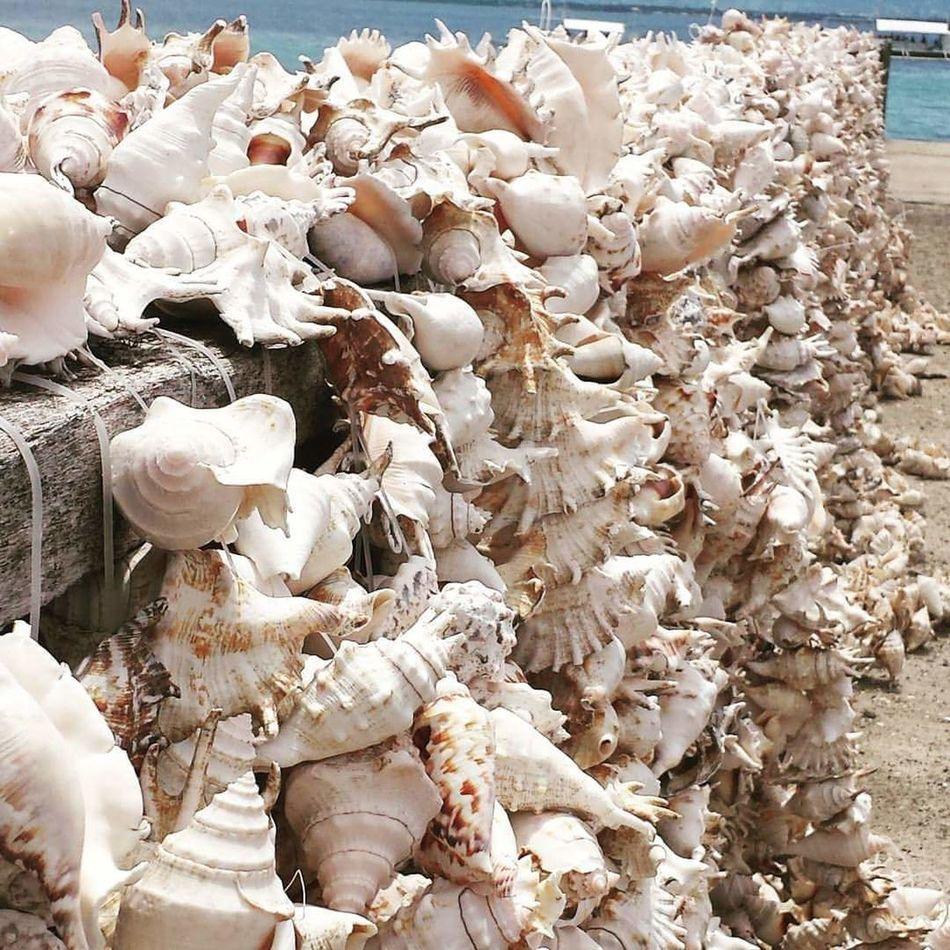Spidershells Dried Islandlife Nature