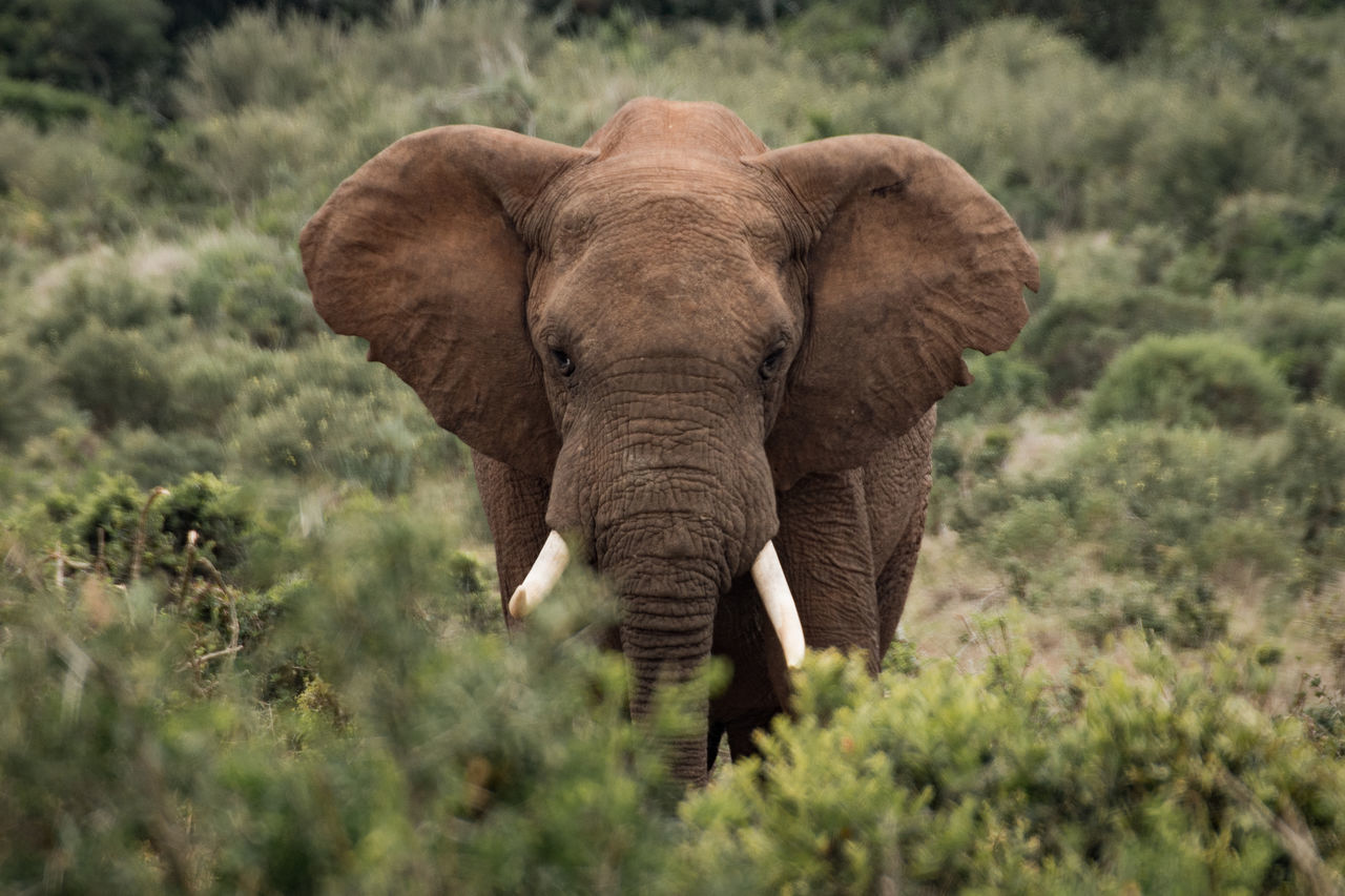 African Elephant Animal Themes Animal Wildlife Animals In The Wild Day Elephant Grass Mammal Nature Nature Nature Photography Nature_collection No People One Animal Outdoors Safari Animals Tusk
