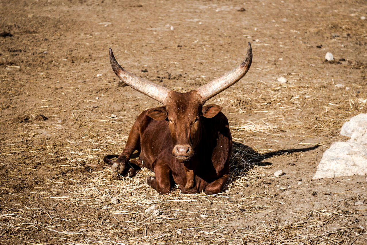 The Ankole-Watusi, also known as Ankole Longhorn outdoors Animal Animal Themes Animals In The Wild Ankole Breed Brown Bull Domestic Animals Domesticated Horn Horned Longhorn Lying Mammal No People One Animal Outdoors Sunny Sunny Day Watusi Wild Wildlife