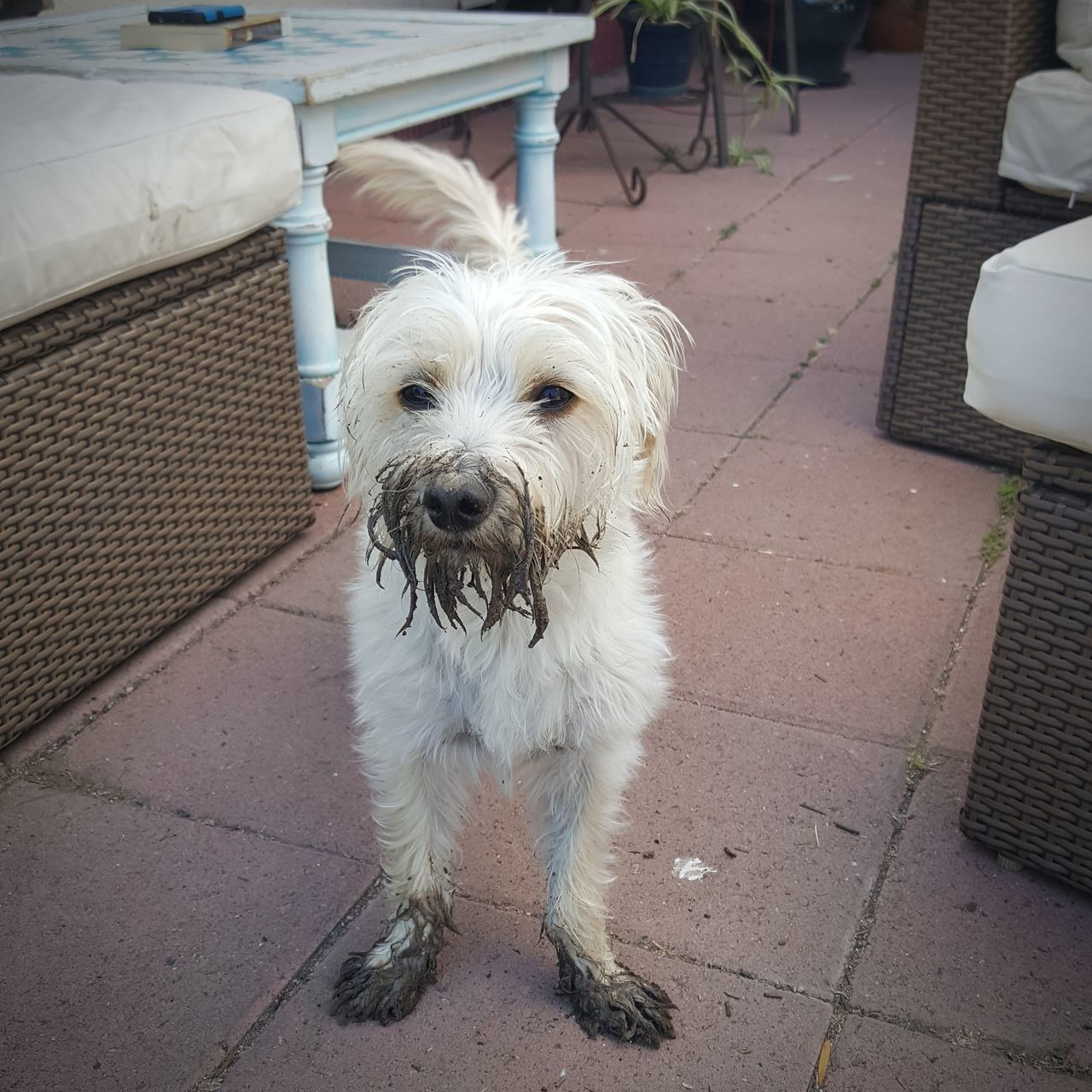 dog, pets, mammal, animal themes, one animal, domestic animals, full length, looking at camera, portrait, outdoors, day, no people, west highland white terrier