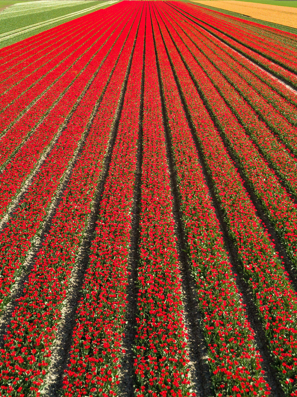 Flower fields, here in Zeeland. Argriculture Backgrounds Beautiful Colors Day Drone  Farm Field Flora Flower Flowers Freshness Growth Holland Multi Colored Nature Netherlands No People Outdoors Plant Red Rural Scene Spring Tulips Zeeland