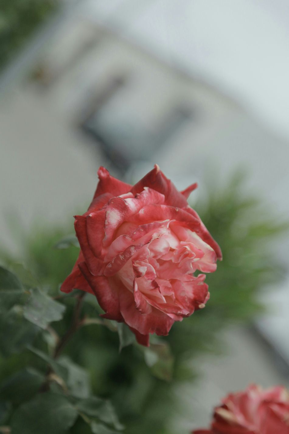 Deceptively Simple Simple As A Lost Rose Be Happy :) And Bloom I Love You