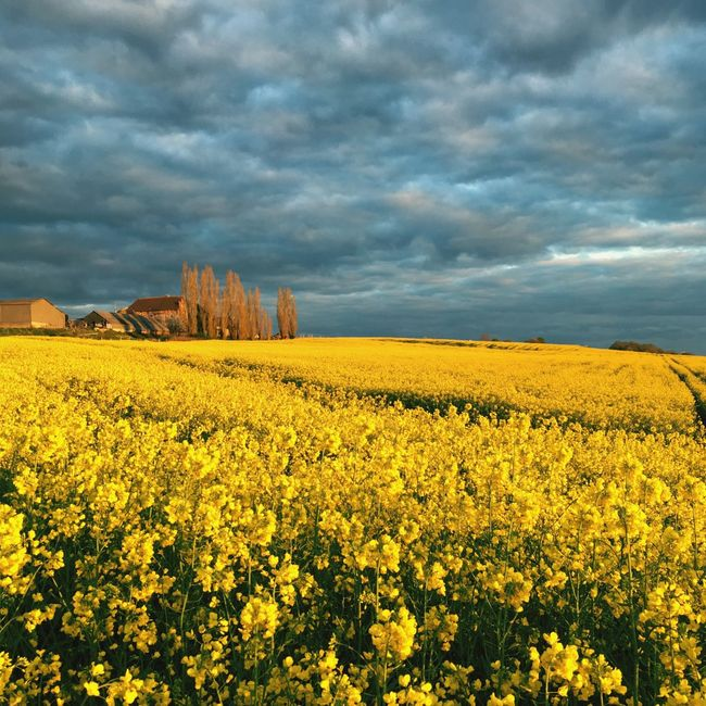 Spring Flowers Yellow Flower Landscape Landscape_photography Normandy Clouds And Sky Clouds Sunset