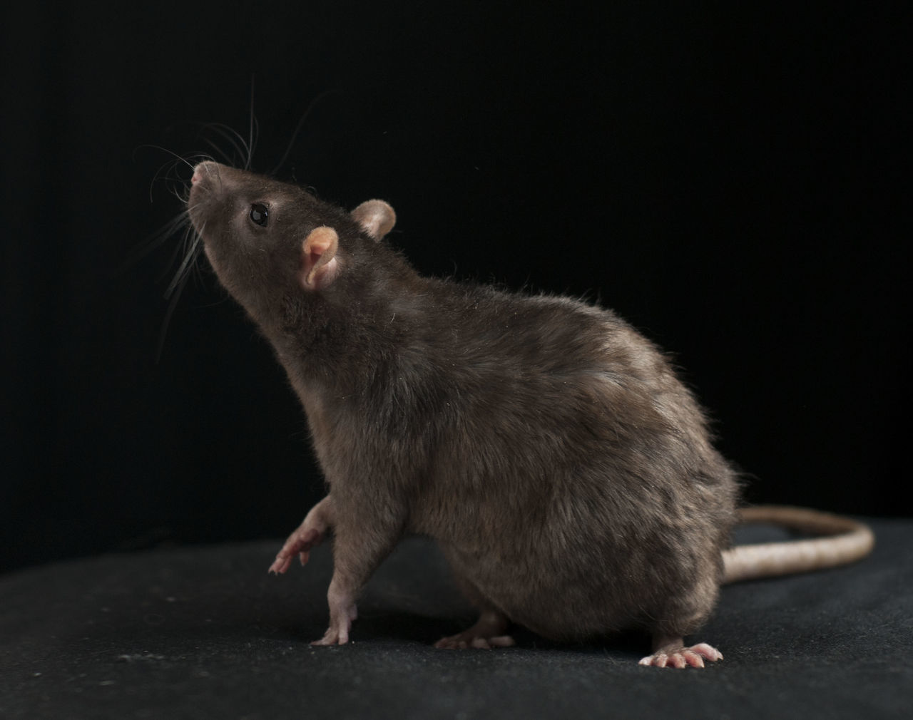 Rattus norvegicus, the common brown rat Bridge Bro Common Rat Curiosity Mammal One Animal Rat Rattus Norvegicus Relaxing Rode Sitting Zoology