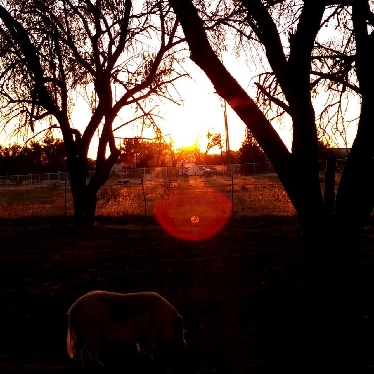 Sunset Pig Silhouette Roseville, CA