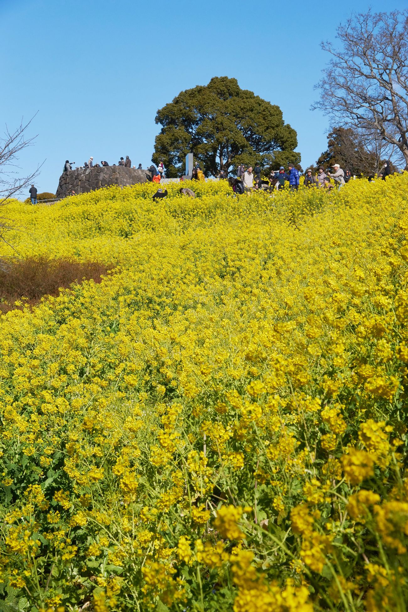Growth Flower Yellow Nature Field Beauty In Nature Tree Freshness Rural Scene Agriculture Fragility Plant Clear Sky Outdoors No People Blossom Sky Landscape Day Tranquility Yellow Flower Eye4photography  EyeEm Nature Lover Beauty In Nature Tranquility