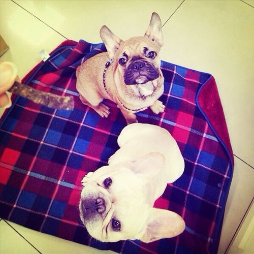 My Thunder month ago with his friend Butter Frenchbulldog Bulldog My French Bulldog <3 French Bulldog I Love My Dog mydog♡ Cute Pets