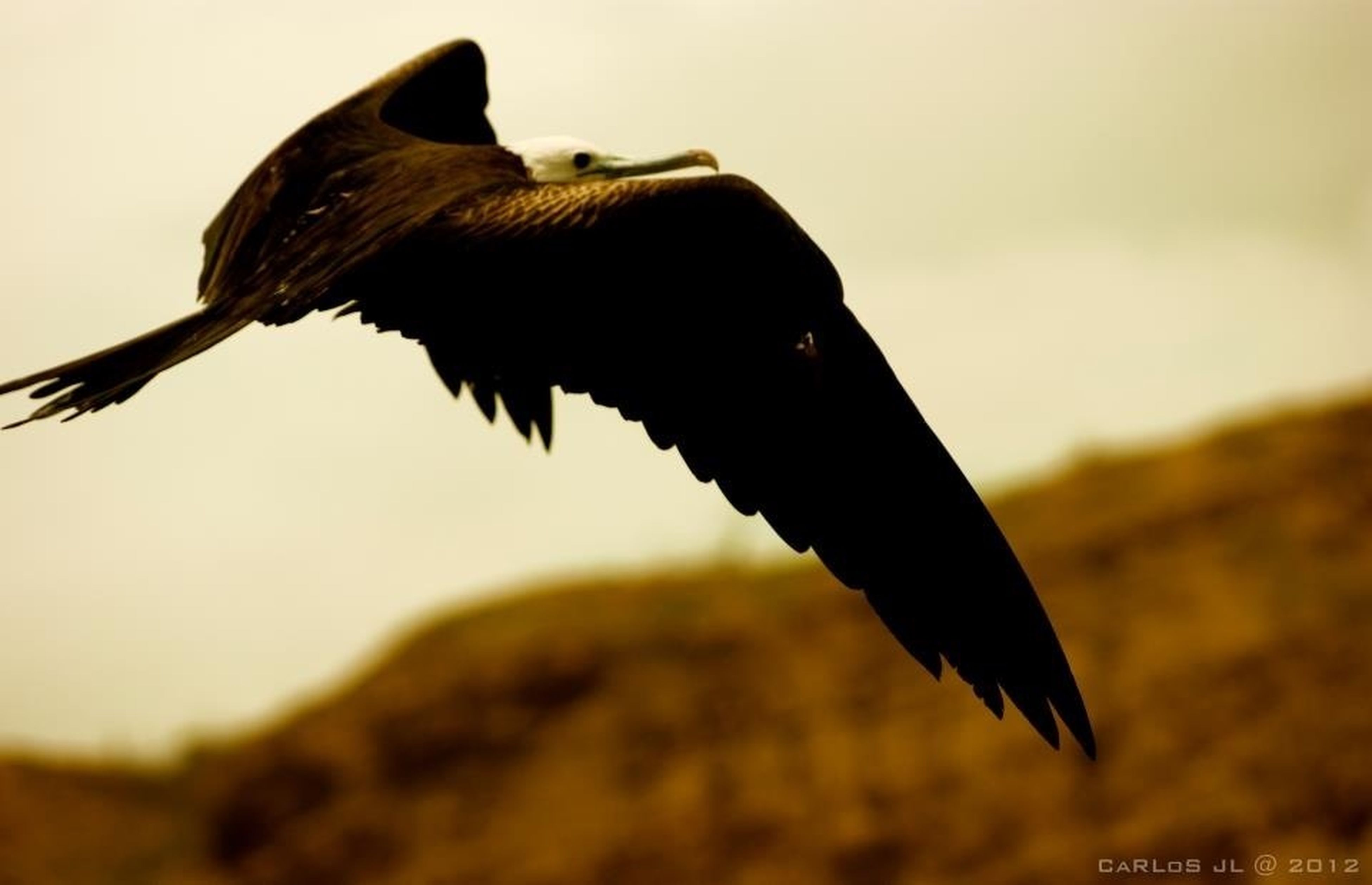 animal themes, one animal, animals in the wild, bird, wildlife, flying, spread wings, focus on foreground, animal wing, close-up, side view, clear sky, mid-air, nature, zoology, full length, low angle view, selective focus, day, outdoors