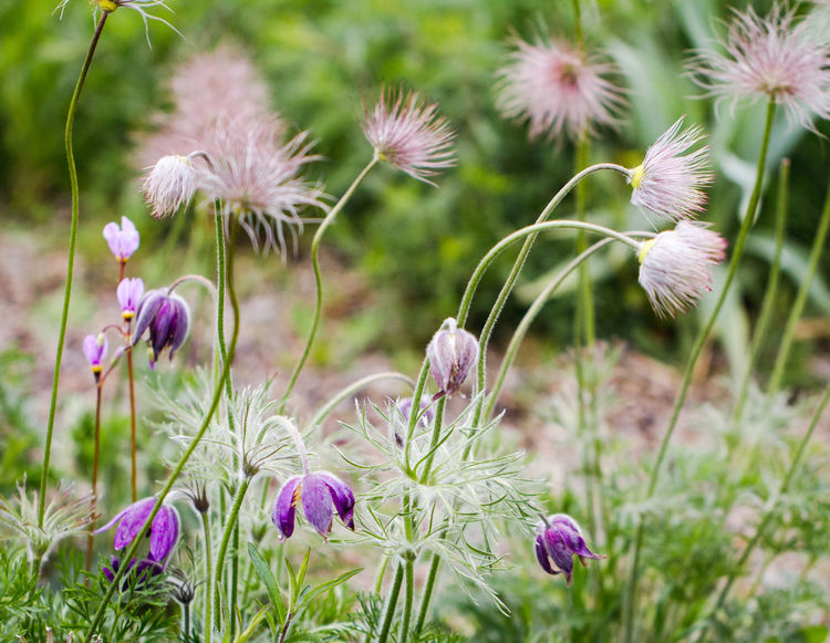 Flower Wildflower Plant Growth Nature Purple Uncultivated Outdoors Flower Head Flora Floral Pasque Flower Meadow Anemone Pasqueflower Wind Flower Easter Flower Prairie Crocus Perennial England Uk Breathing Space Perspectives On Nature