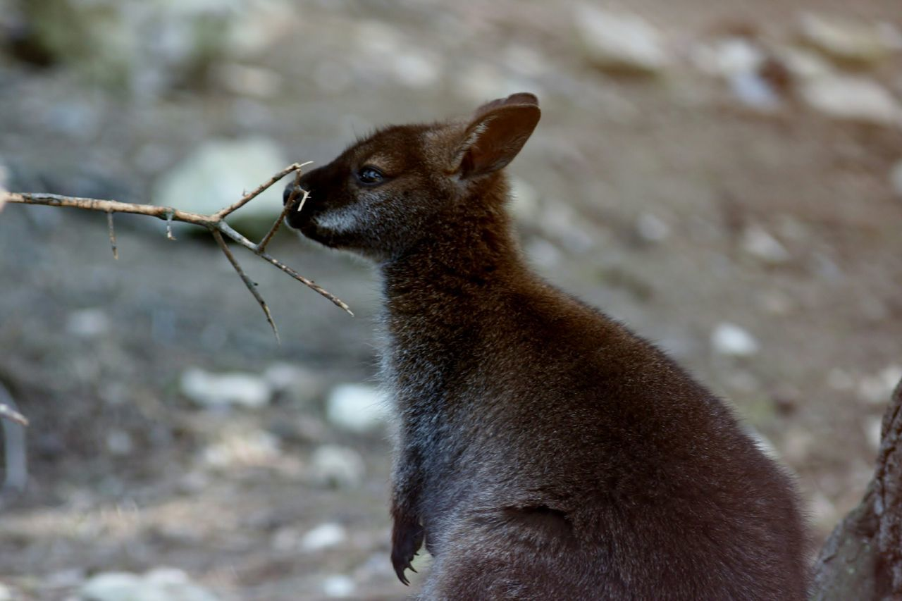 Beautiful stock photos of kangaroo, Animal Themes, Animals In The Wild, Beauty In Nature, Day