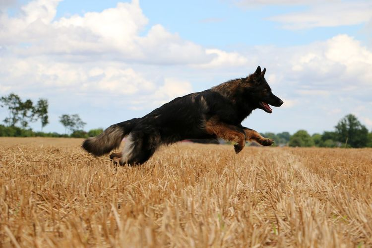 german shepherd is running on a stubble field on a sunny day in summer Active Animal Themes Black Color Cloud - Sky Day Deutscher Schäferhund Dog Domestic Animals Field German Shepherd Mammal Motion Nature No People One Animal Outdoors Pets Shepherd Sky Sport Stoppelfeld Stubble Field Stubblefield Summer Tree