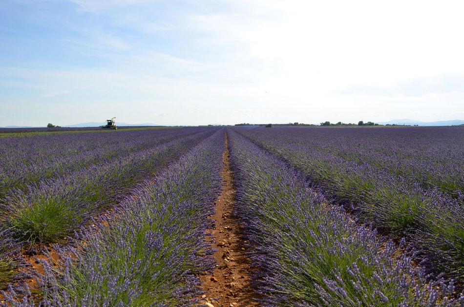 Beauty In Nature Field Flowers France Francia Landscape Lavanda Lavanda Field Lavanda Fields Lavander Lavander Flowers Lavender Natura Nature Paesaggio Panorama Provence Provenza Rural Scene Scenics