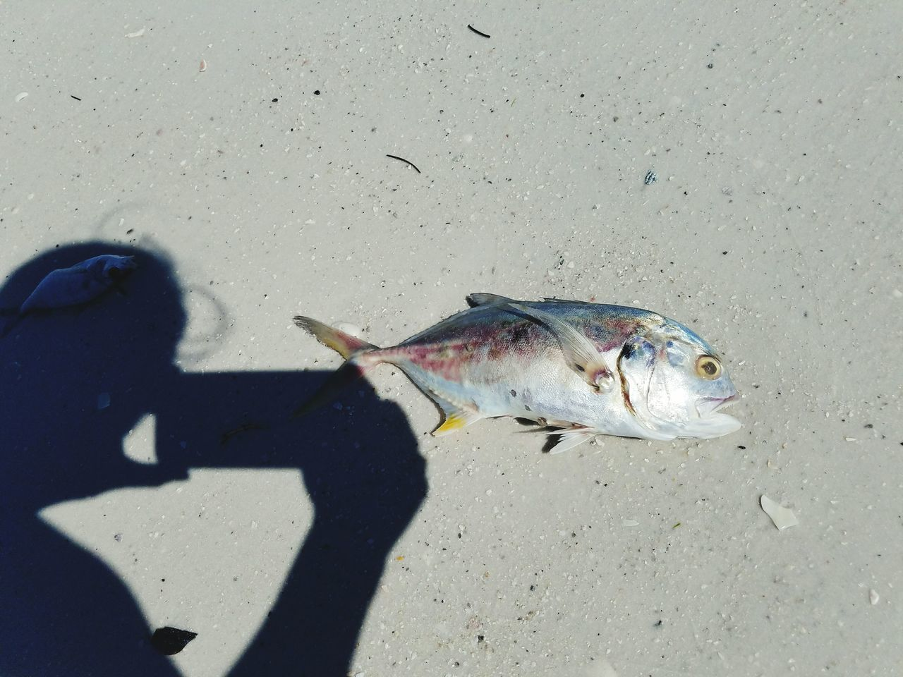 Shadow self portrait with Mr. Fish. Shadow One Animal Sunlight Sand High Angle View Dead Animal Zoology Outdoors Summer Red Tide Fish Marine Life EyeEm Nature Lover Eyeyem Travel Collection Eye4photography