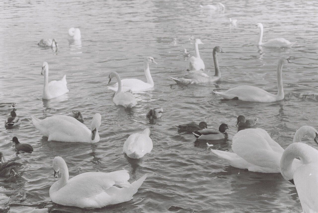 lake, bird, animal themes, animals in the wild, water, nature, large group of animals, swimming, swan, no people, animal wildlife, water bird, flock of birds, day, togetherness, beauty in nature, outdoors, flying