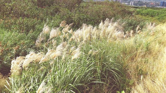 Silver Grass Green Tamsui Tamsui River Yellow